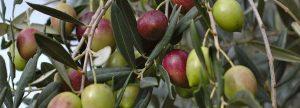 Zeytin ağacı gübresi