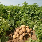 Patates gübreleme