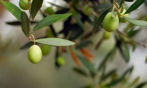 Zeytin İçin Gübre, Zeytin gübresi, Zeytin için hangi gübre kullanılır, Hangi gübre zeytinde kullanılır.