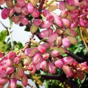 Antep fıstığı ağacı kuruması