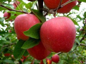 Elma ağacı hastalıkları
