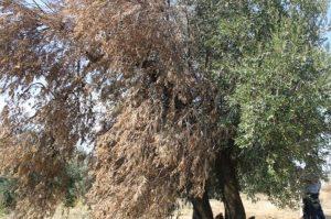 Kuruyan ağaç için gübre