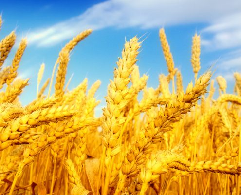 Buğday gübresi