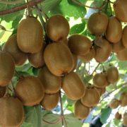 Kivi ağacı hastalıkları