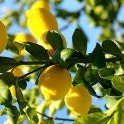 Limon ağacı büyümesi