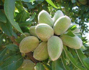 Badem ağacı için gübre